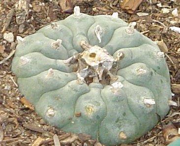 Gardener's special : peyote pictures