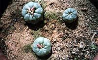PEYOTE: the divine cactus